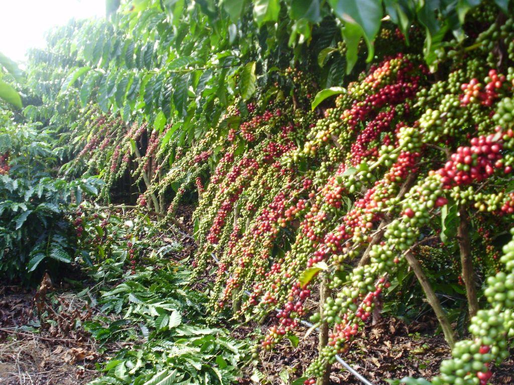 Determinando a época ideal para a irrigação do cafezal e a quantidade de água utilizada?