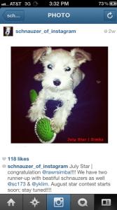 Schnauzer of Instagram - July Star