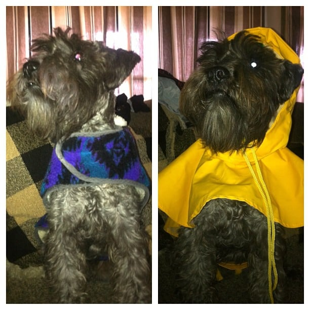 dog, mini schnauzer, dog in clothes