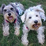 Fashion Friday: Schnauzer Sisters