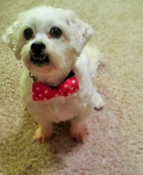Riley - Dog Bowtie