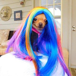 Wheels the Tiny Chihuahua - dog wig