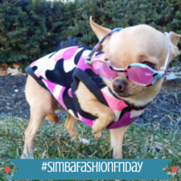 Fashion Friday: Wheels the Tiny Chihuahua