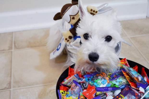 10 Dog Halloween Costume Ideas
