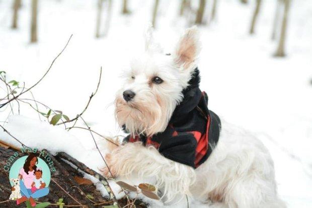 Schnauzer snow day
