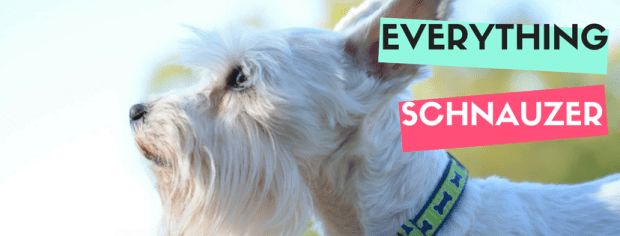Everything Schnauzer for the Schnauzer Lover