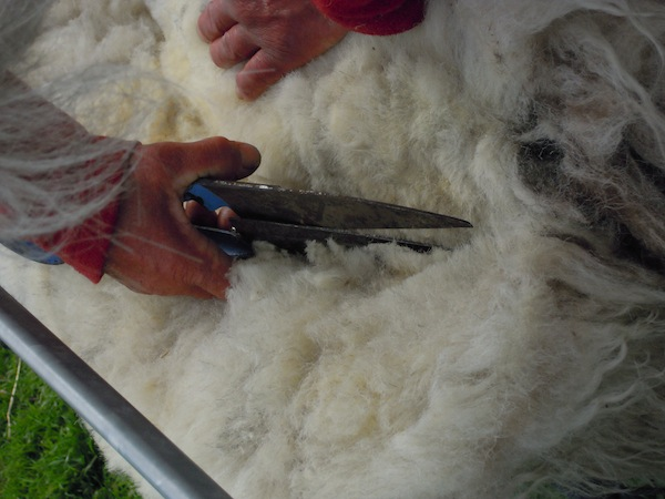 Wool being sheared by hand by a local shepherdess.
