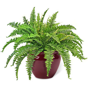 The Boston Fern In House Plant