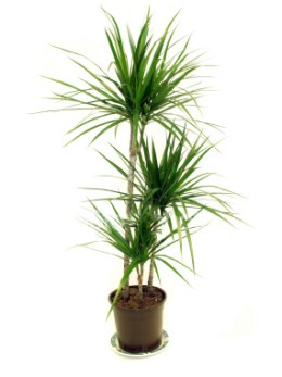 The Dragon Tree In House Plant