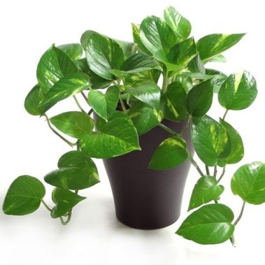 The Golden Pothos In House Plant