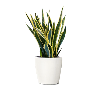 The Snake Plant In House Plant