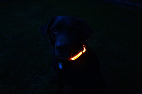 Cadbury-in-Collar-in-Dark-Grass