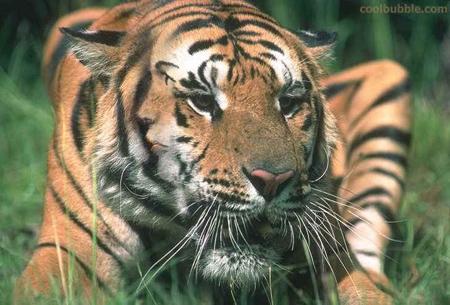 hidden-images-004-tiger-face