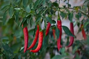 Chile Cayenne