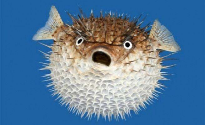 ¿Eres un pez globo?