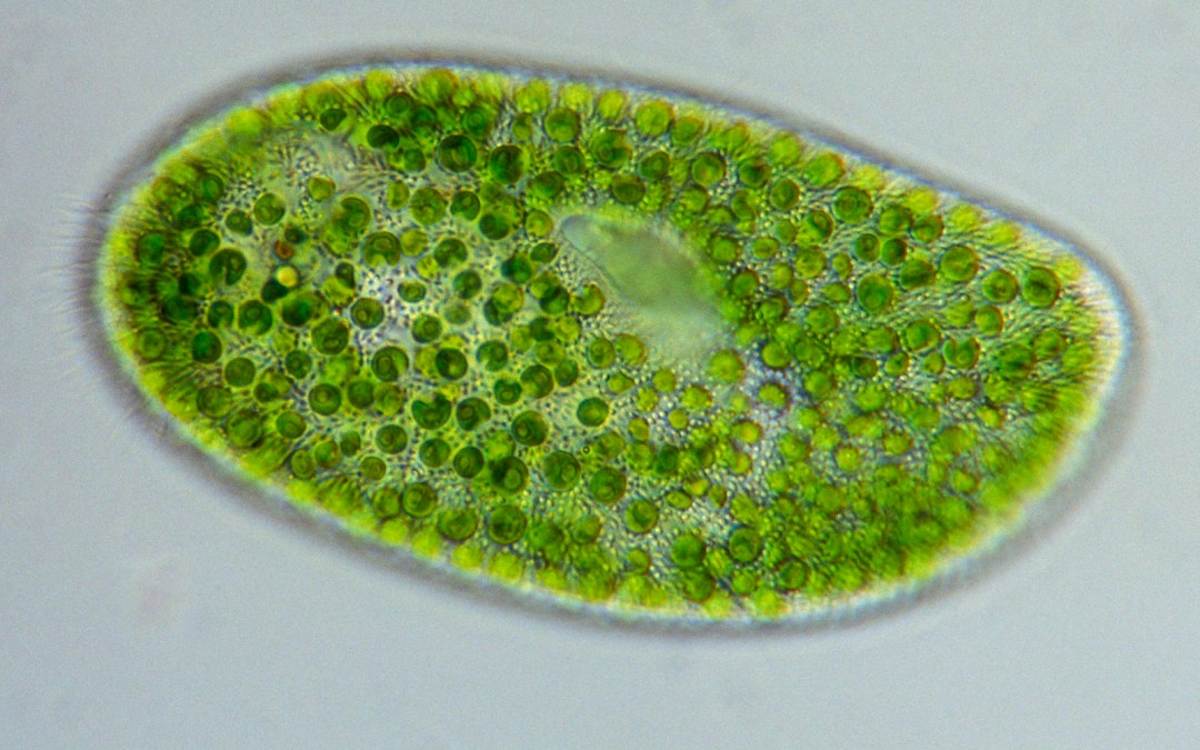 Chlorella; el alga detox