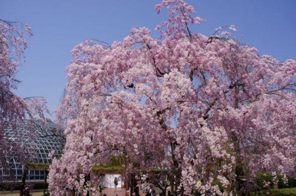 東谷山フルーツパーク桜