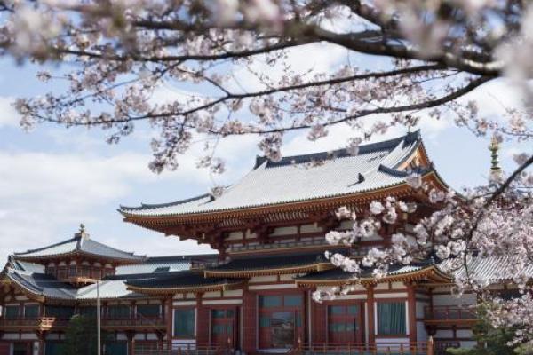 金剛寺桜16
