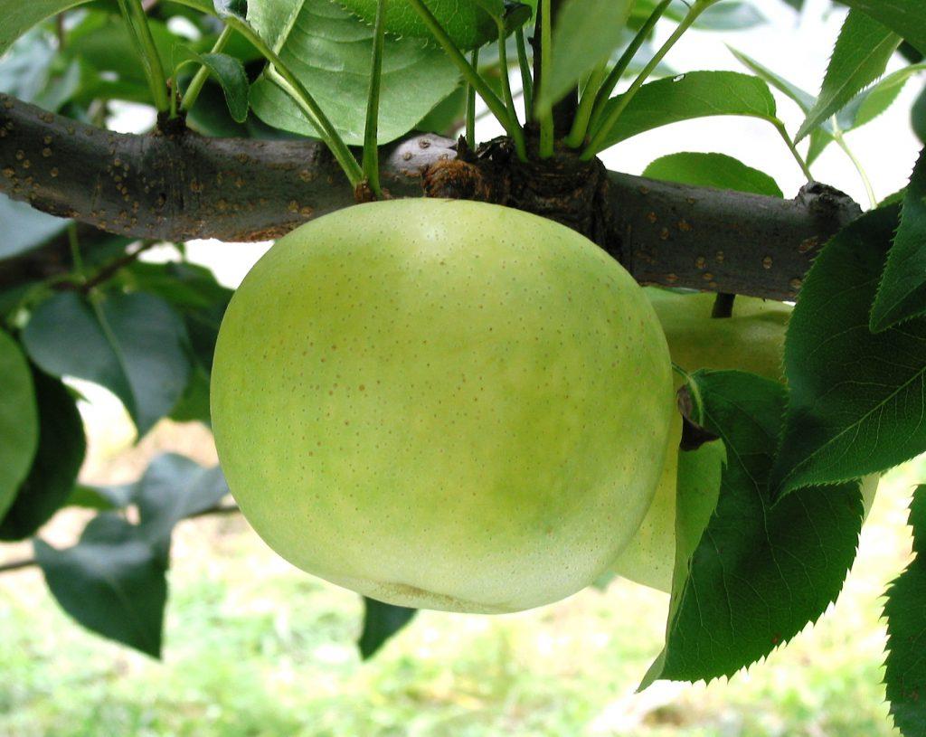 21世紀梨