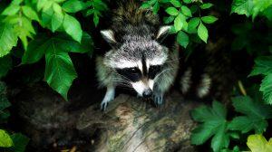 raccoon-1885137_1920