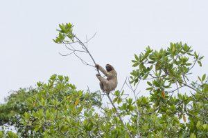 木につかまるナマケモノ
