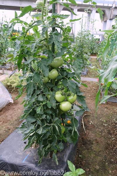 「大玉トマト」