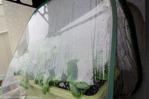 ポータブル温室をかぶせたベランダ菜園