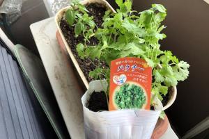 パクチーを植えてみた!