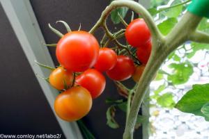 ミニトマトのような脇芽中玉トマト