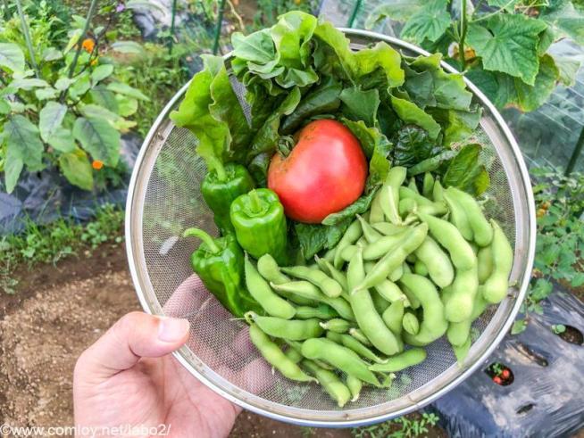 今日の収穫20210710