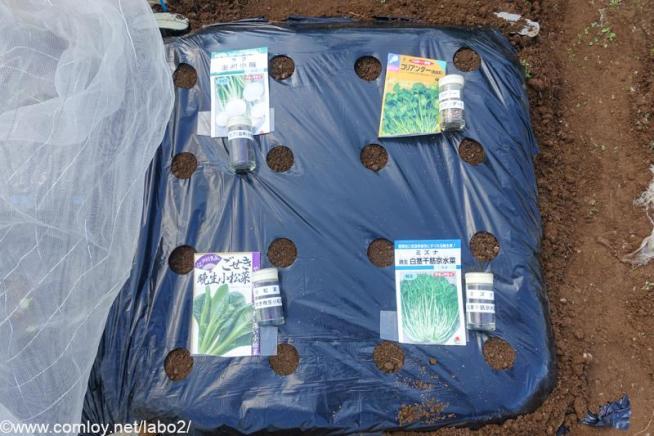 カブ、小松菜、コリアンダー、水菜