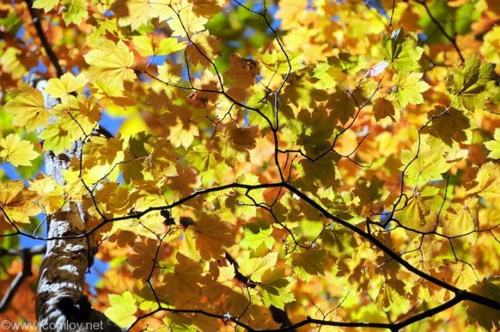 鹿沢国立公園 黄色に輝くもみじも綺麗