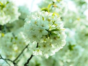 桜のブーケ
