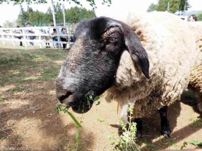 羊山公園の羊
