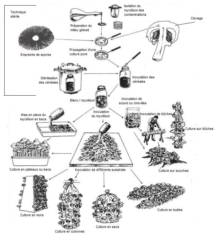 étape-de-culture-de-champignons