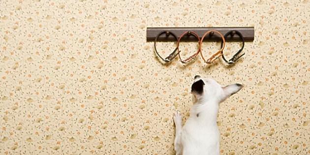Un chien choisit son collier.