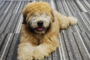 Terrier irlandais à poil doux - Chien hypoallergène