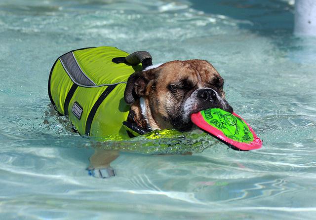 Chien avec un gilet de sauvetage dans une piscine