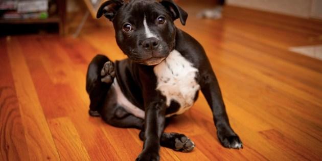 Protéger son chien des puces et tiques