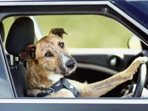 dog-driver