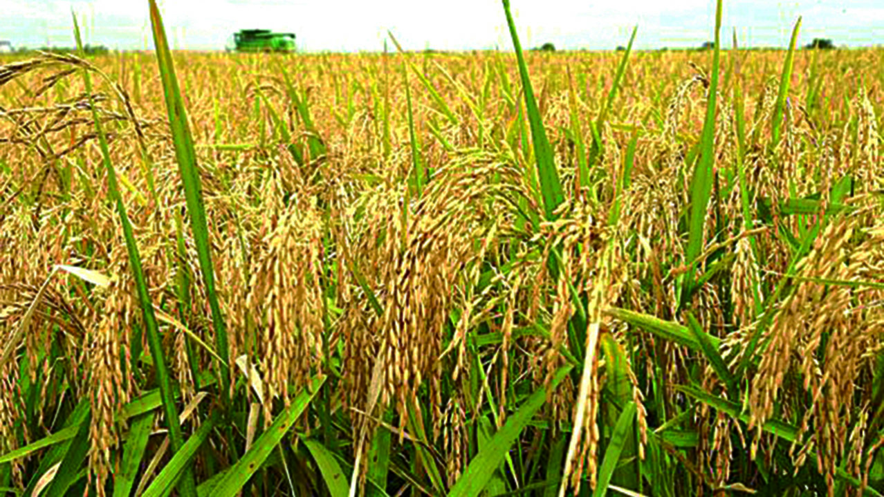 Rice-Farming-Nigeria-e1534957622641.jpg