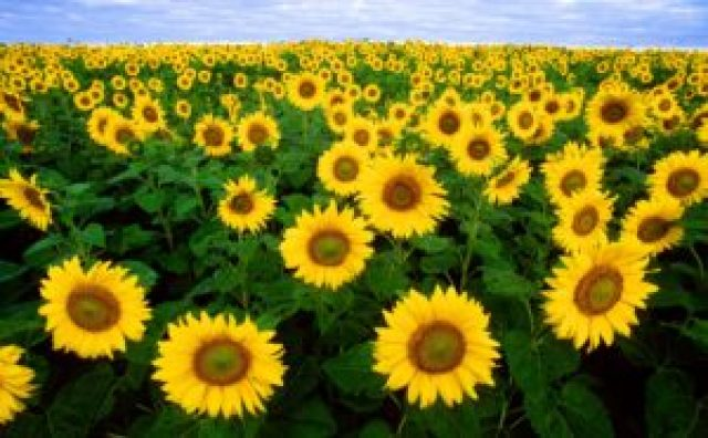 What are agricultural commodities - Sunflower fields