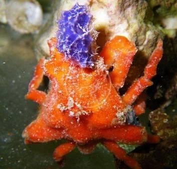 Sponge Crab Crabs Invertebrates