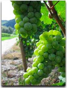 riesling-grapes