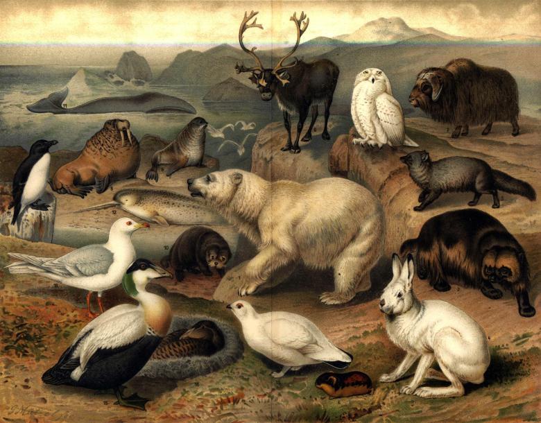 """""""Arktisk fauna"""" from Nordisk familjebok (1915), vol.21, Till art. Polarländer."""