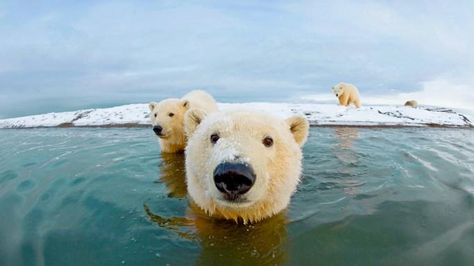 Curious polar bears at Bernard Spit in Alaska swimming and approaching a camera.