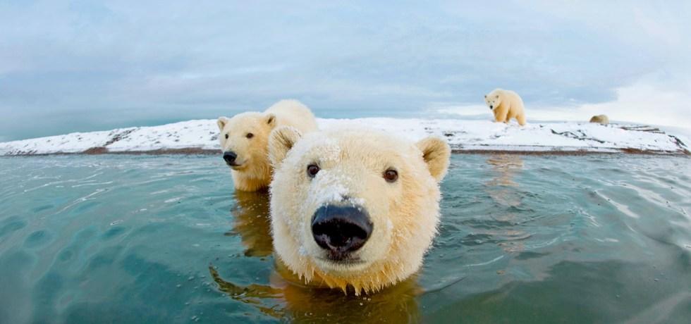 Curious polar bears approach a camera in the water near an iceberg in Alaska