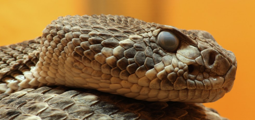 Lateral close-up view of the head of a western diamondback rattlesnake with eyes focused forward and head resting on coiled body.