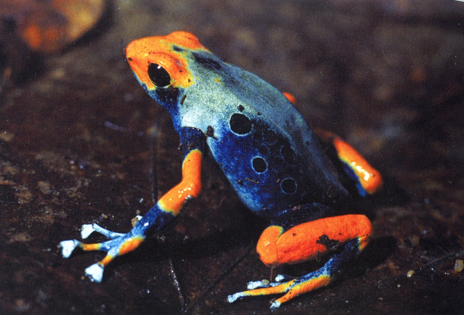 Dendrobates tinctorius morph in Brazil