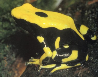 Dendrobates tinctorius morph, French Guayana. Image: K.H. Jungfer